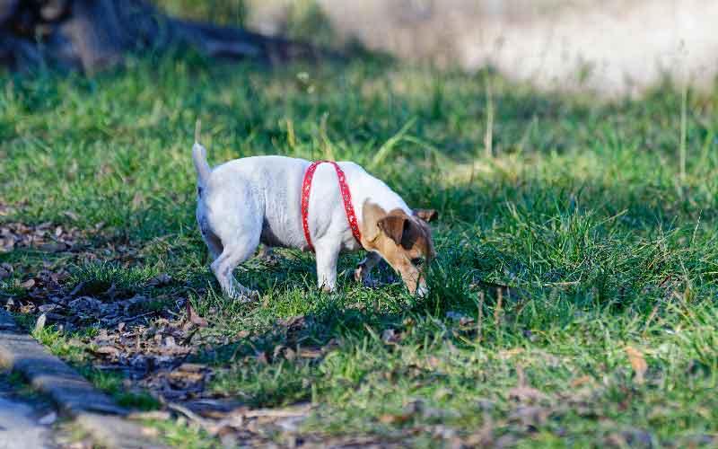 Pes, ki vohlja za iztrebki